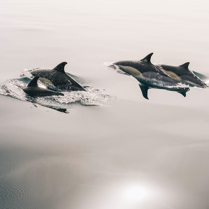 dolphins-945410_1920